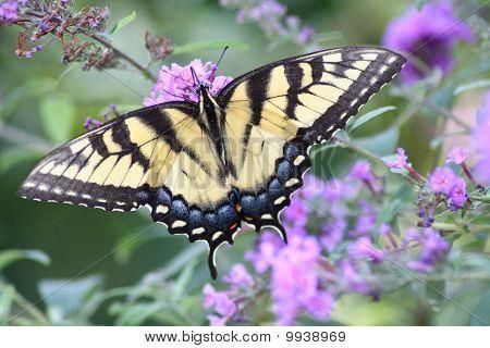 Swallowtail In Backyard Garden