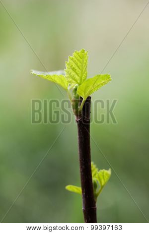 Young Figs Leaves