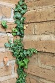stock photo of english ivy  - Green English Ivy leafs growing all over an adobe brick wall in a corner - JPG