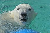 foto of polar bears  - Polar bear swimming in the water showing animal - JPG