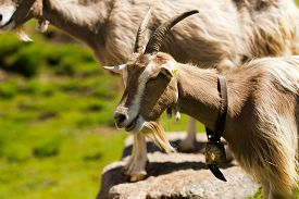 pic of goat horns  - Mountain goat with eyes closed horns and cowbell - JPG