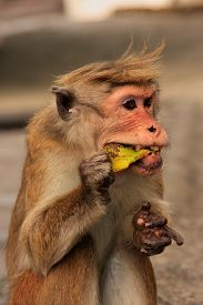 picture of macaque  - Toque macaque  - JPG
