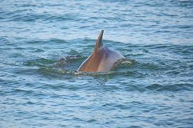 picture of bottlenose dolphin  - Common bottlenose dolphin showing dorsal fin near Sanibel island in Florida - JPG