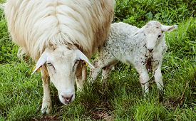 stock photo of baby sheep  - I found this sheep and her baby behind a cottage - JPG