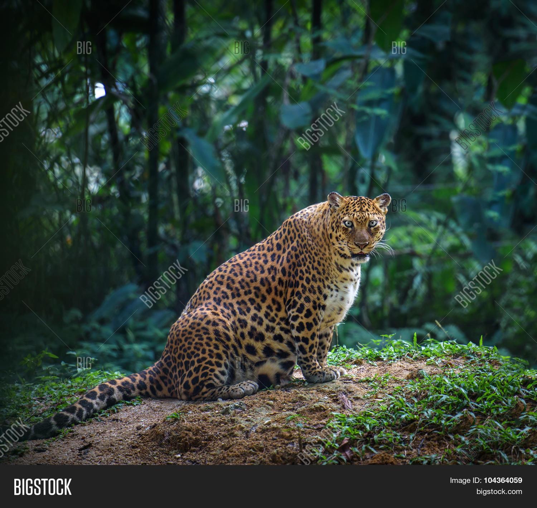 Female Jaguar: Pregnant Jaguar Female Image & Photo