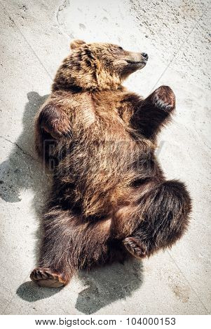 Lying Young Brown Bear (ursus Arctos Arctos)