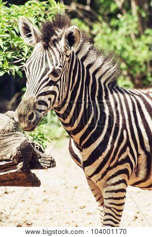 Portrait Of Hartmann's Mountain Zebra (equus Zebra Hartmannae)