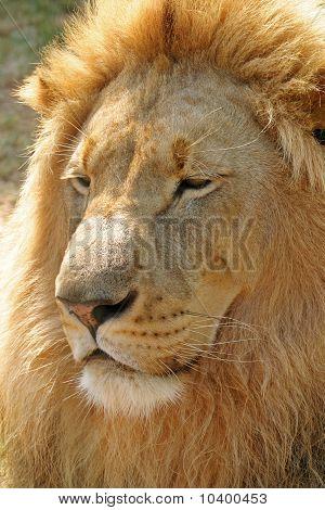 Male Lion # 1