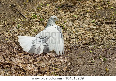 Pigeon taking sun bath