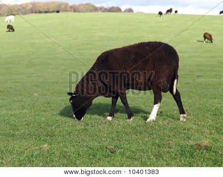 A Zwartbles Ram Grazing