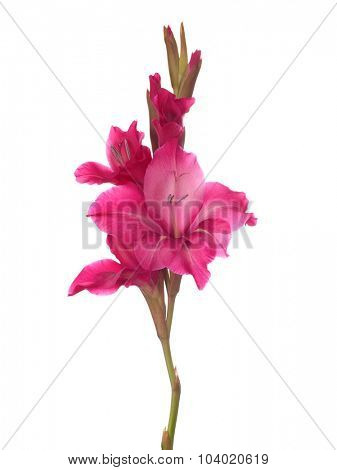 Pink gladiolus isolated on white background