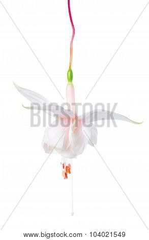 Blooming Beautiful Single Flower Of White Fuchsia Is Isolated On White Background, `pink Marshmallow
