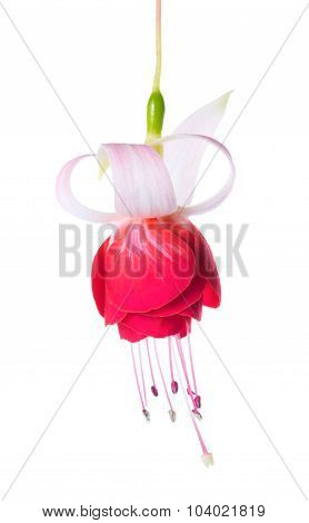 Blooming Beautiful Single Flower Of White And Red Fuchsia Is Isolated On White Background, `veenlust