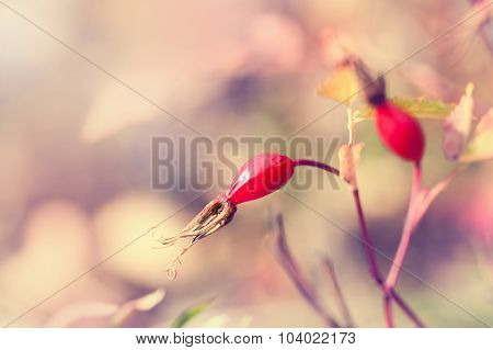 Macro Image Of Wild Dog Rose Berries, Small Depth Of Field