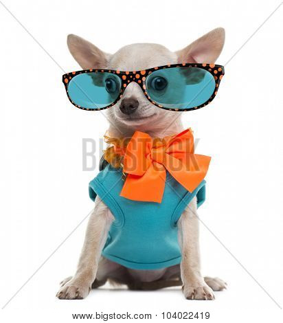 Dressed Chihuahua wearing glasses