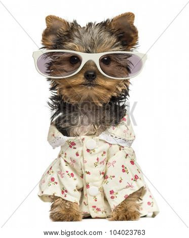 Dressed up Yorkshire Terrier puppy wearing glasses isolated on white