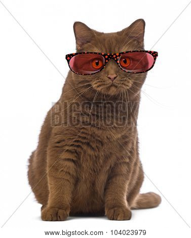 British Shorthair wearing glasses, 20 months old, sitting and looking at the camera in front of white background