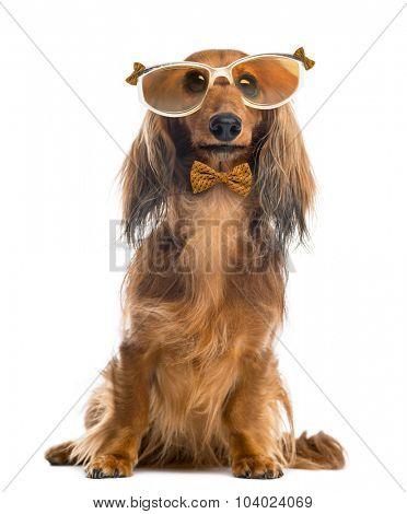 Dachshund, wearing glasses and a bow tie in front of a white background
