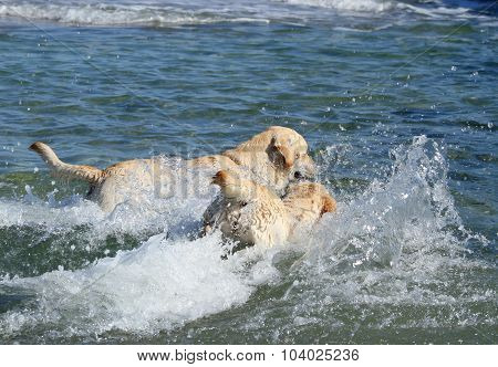 Two Labradors Swimming In The Sea