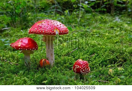 Fly-agaric in forest .