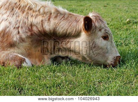 Despondent Cow
