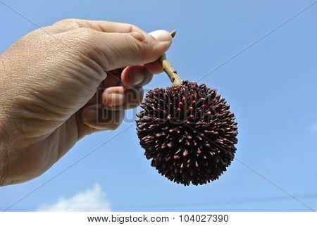 Tropical fruit the pulasan, Nephelium mutabile Blume from family Sapindaceae