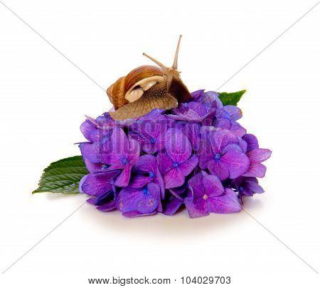 Garden snail on violet  hydrangea flower isolated .