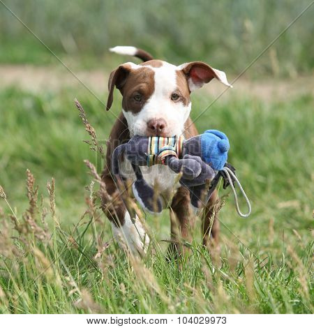 Beautiful Puppy Of American Pit Bull Terrier