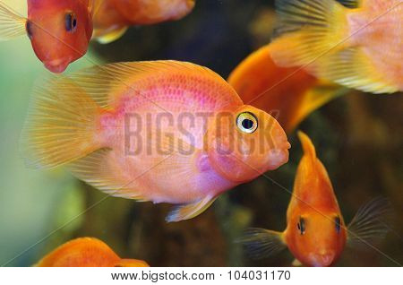 Blood Red Parrot Cichlid