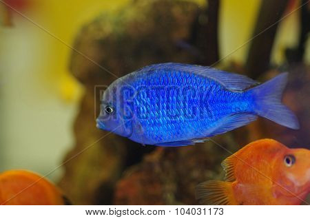 Malawi Blue Dolphin Aquarium Fish