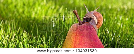 Snail in the summer garden on pear seated.