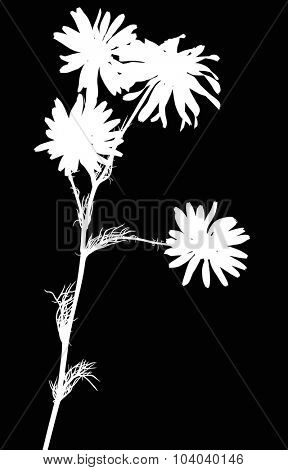 illustration with chamomile flower silhouettes isolated on black background