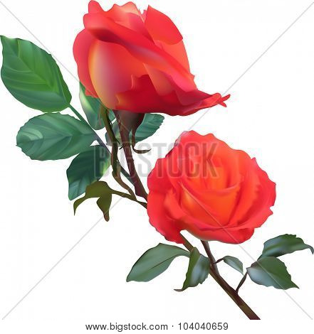 illustration with scarlet roses isolated on white background