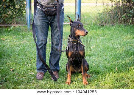 Doberman Pinscher Dog Sitting Near The Coach Legs