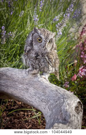 Cute Screech Owl On Log.