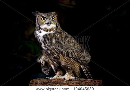 Horned Owl Portrait.
