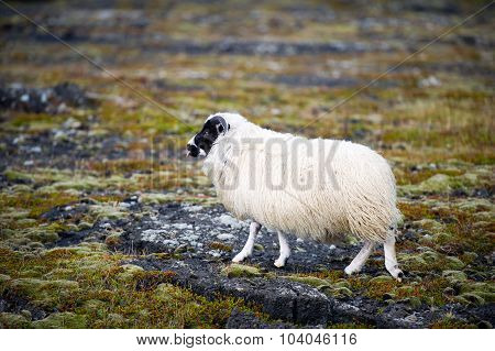 White Woolly Sheep