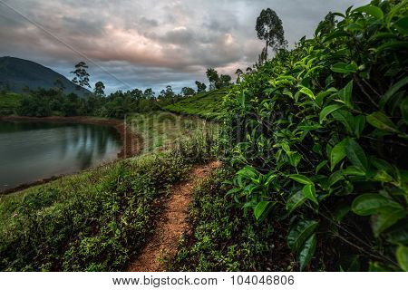 Tea plantation of the country of Sri Lanka at sunrise. HDR shot