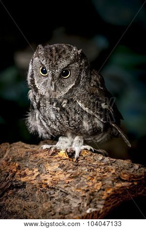 Screech Owl In Captivity.