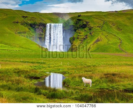 Grandiose falls Skogafoss in Iceland. On a meadow before falls the white lamb is grazed