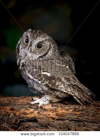 Side View Of Screech Owl.