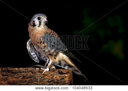 Indoor Portrait Of A Kestral.