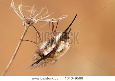 Bombylius Major Hangs On A Dry Plant