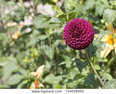 Purple Pompon Dahlia Flower On Blurred Natural Background