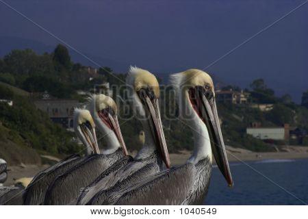 Pelican Quartet