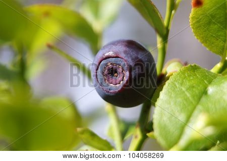Blueberry (vaccinium myrtillus). Fruit close up.
