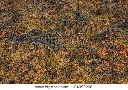 Closeup Of Brown Seaweed At Low Tide