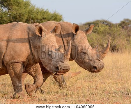 Two White Rhinos Walking