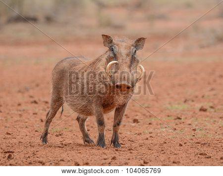 Warthog Standing Still