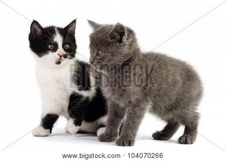 two kitten play on white